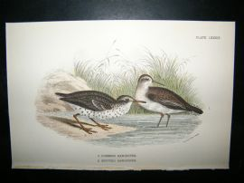 Allen 1890's Antique Bird Print. Common Sandpiper